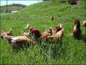 Chickens grazing on grass